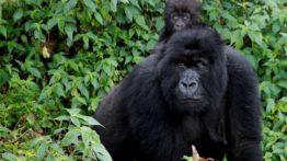 gorillas easy uganda