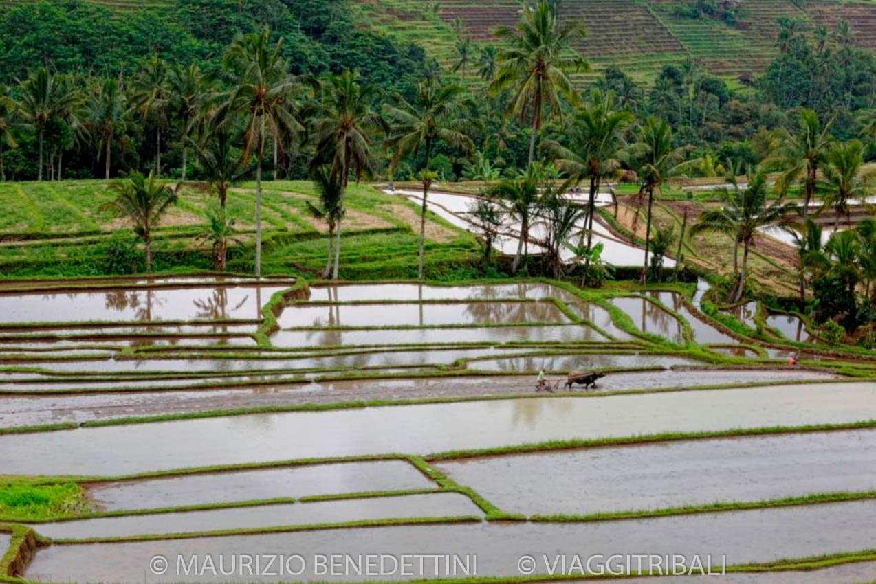 Indonesia risaie