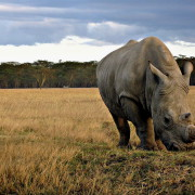 Wild-Animal-Big-Rhino-Wallpaper-05