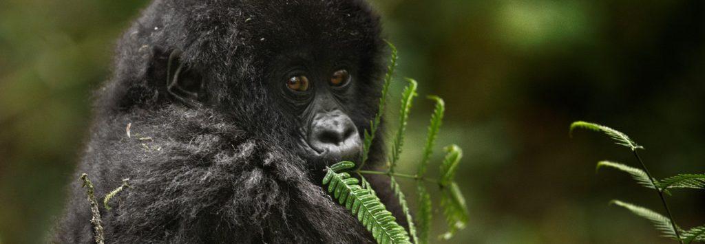 baby_mountain_gorilla_feeding - Copia