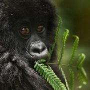 baby_mountain_gorilla_feeding - Copia
