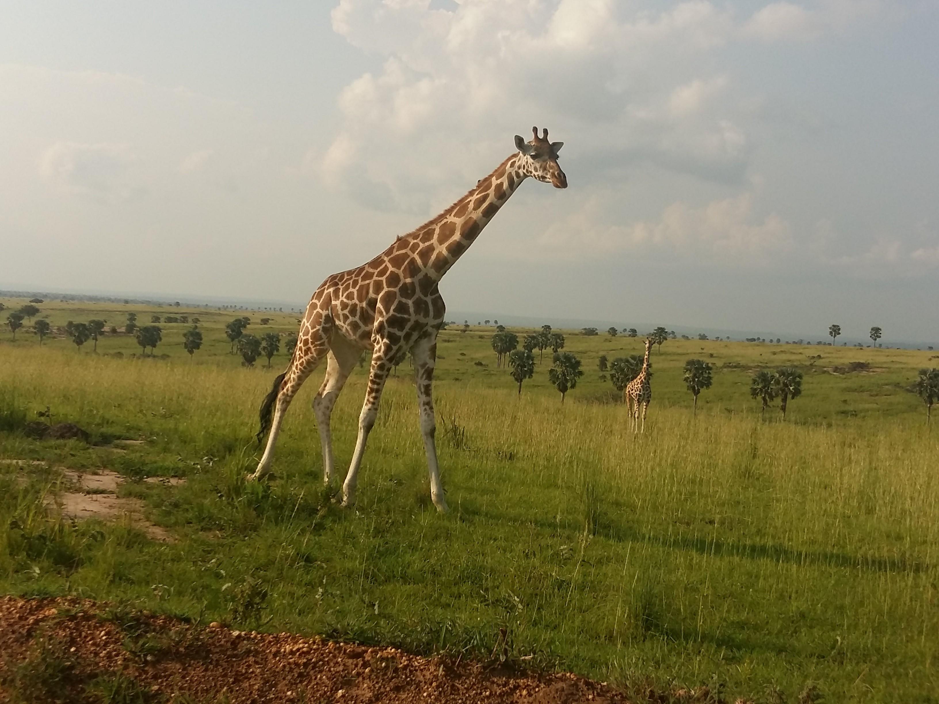 Giraffa in Uganda