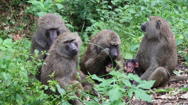 Babbuini Uganda