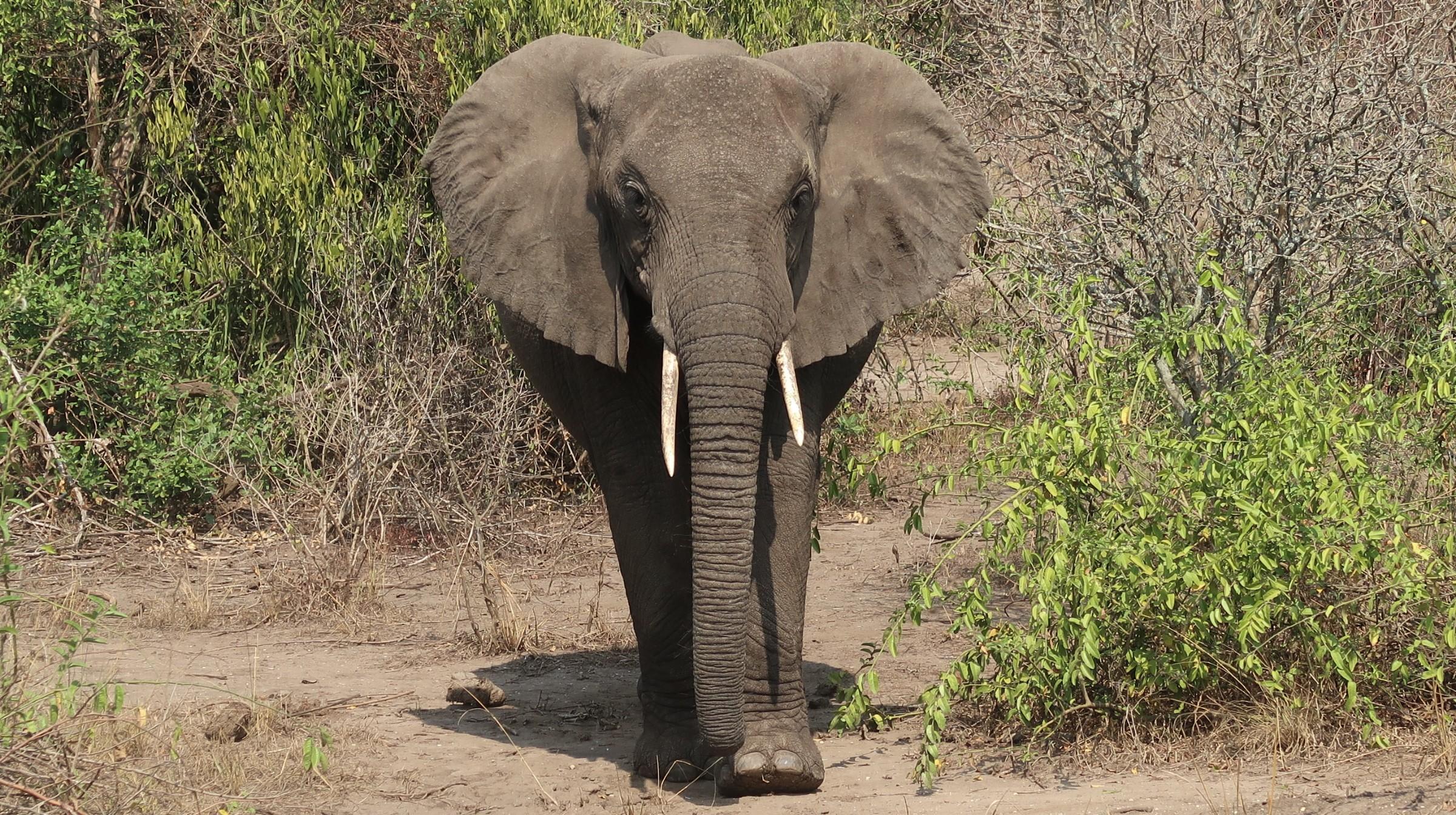 Elefante in Uganda