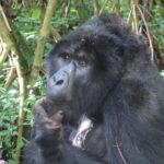 Gorilla a Bwindi