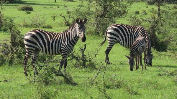 Uganda's zebre