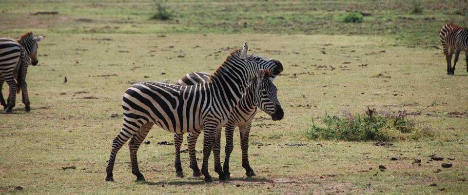Zebre_Uganda