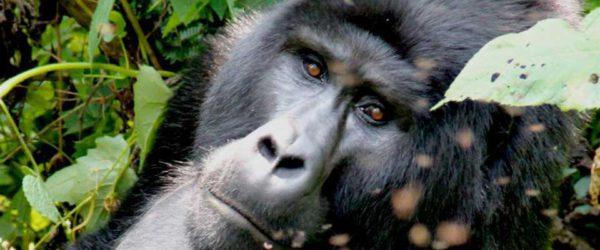 gorilla_Bwindi