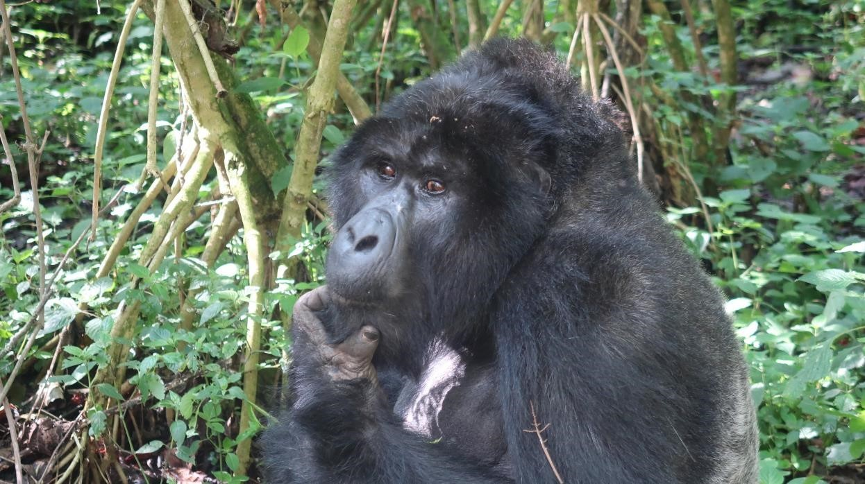 Uganda_gorilla
