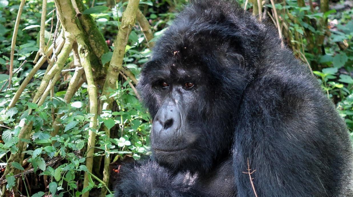 gorilla_di_montagna