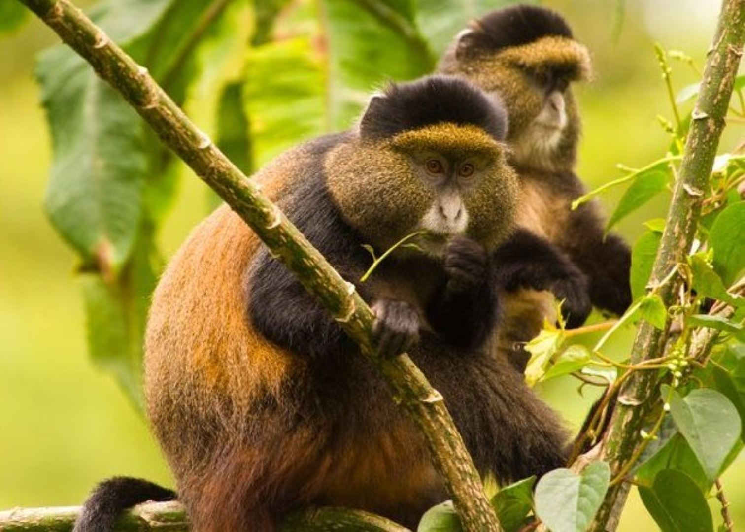GOLDEN-MONKEY-TRACKING-IN-VOLCANOES-NATIONAL-PARK