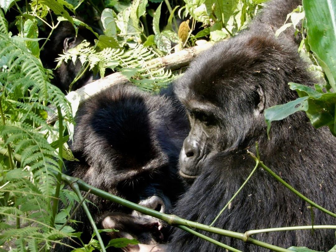 Uganda, la terra dei Gorilla