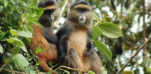 golden-monkey-trekking-1