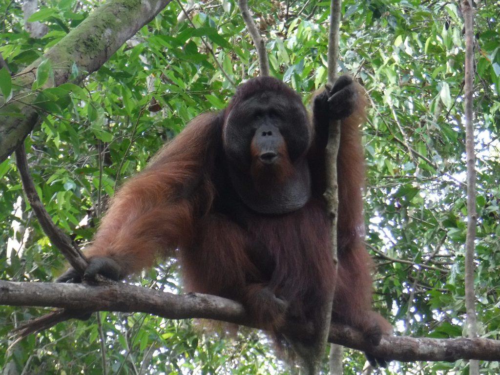 """alt=""""Tra gli Orangutan del Il Tanjung Puting National Park, nel Kalimantan, ospita circa 3.000 esemplari di Orangutan e si occupa della preservazione della specie."""""""