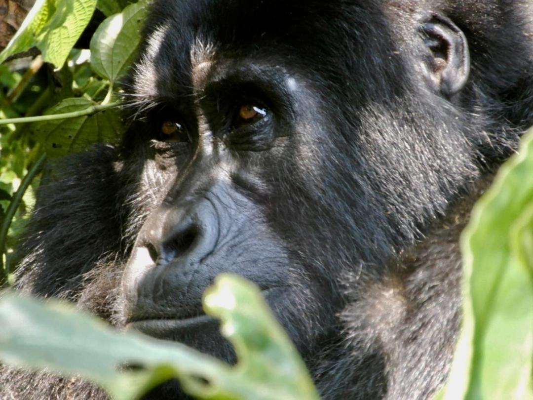 UGANDA, la Terra dei Gorilla con le Golden Monkey